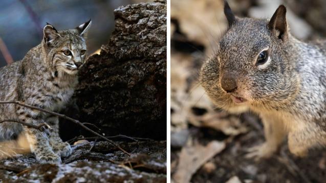 山貓在優勝美地山谷尋找一頓飯。右邊,一隻松鼠的臉頰塞滿了優勝美地山谷美食