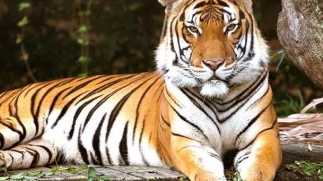 馬來亞虎分布於馬來半島南部的馬來西亞與泰國境內,此前一直被歸類為印度支那虎的一個種群