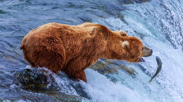 布魯克斯瀑布是觀看熊在鮭魚上大吃一頓的好地方©Gleb Tarro / Shutterstock