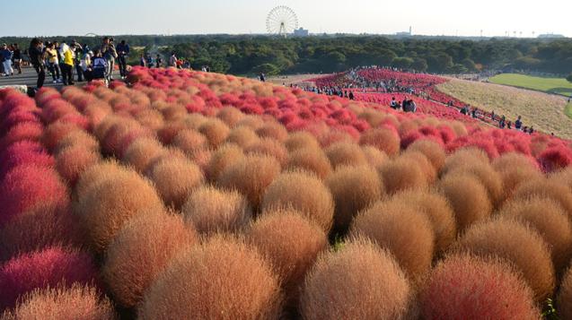 日本茨城縣著名的國營常陸海濱公園,園內人氣最旺的「波波草」已經逐漸轉紅。(資料照/取自國營常陸海濱公園官網)